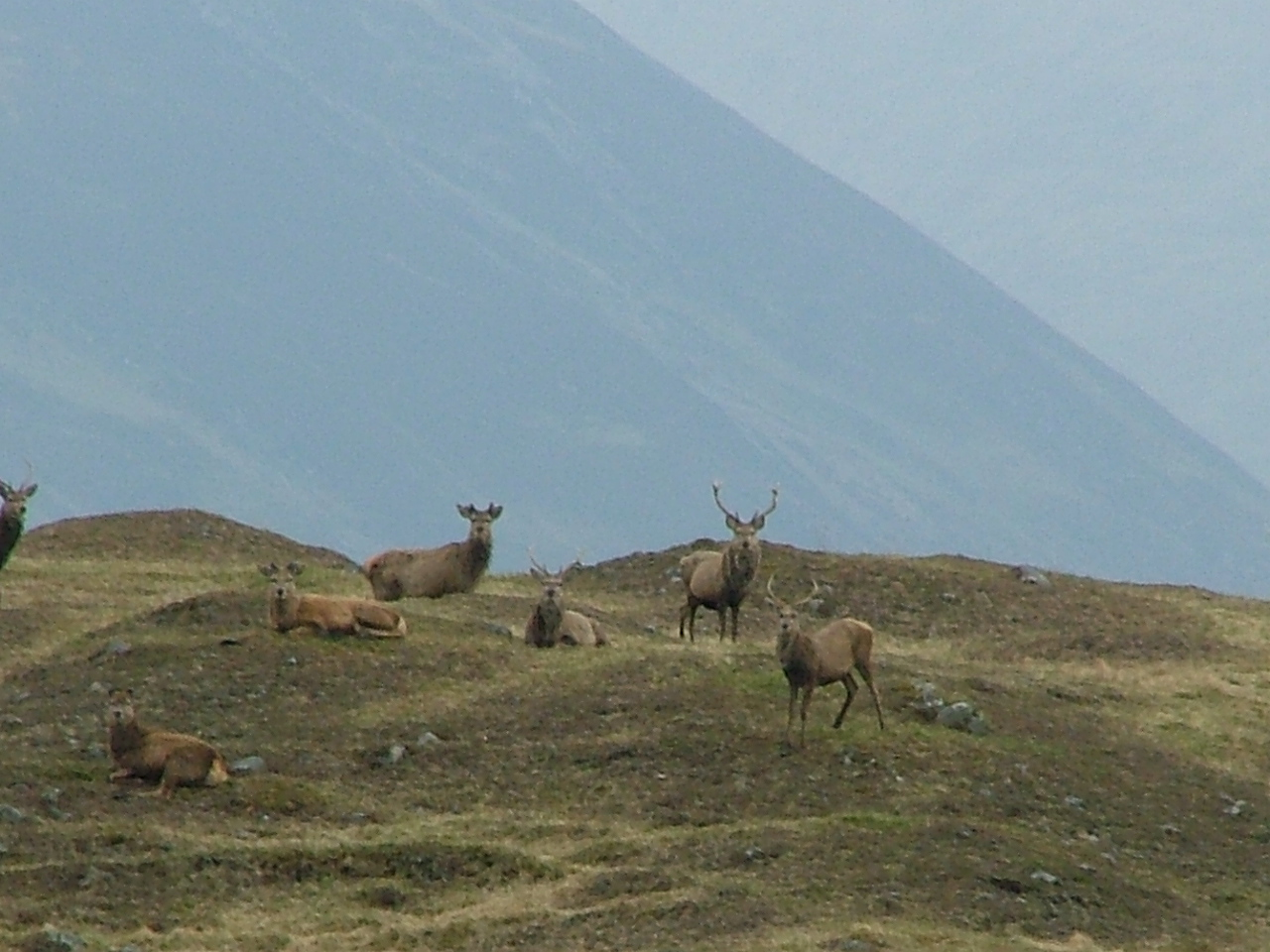 Red Stags at Meggernie